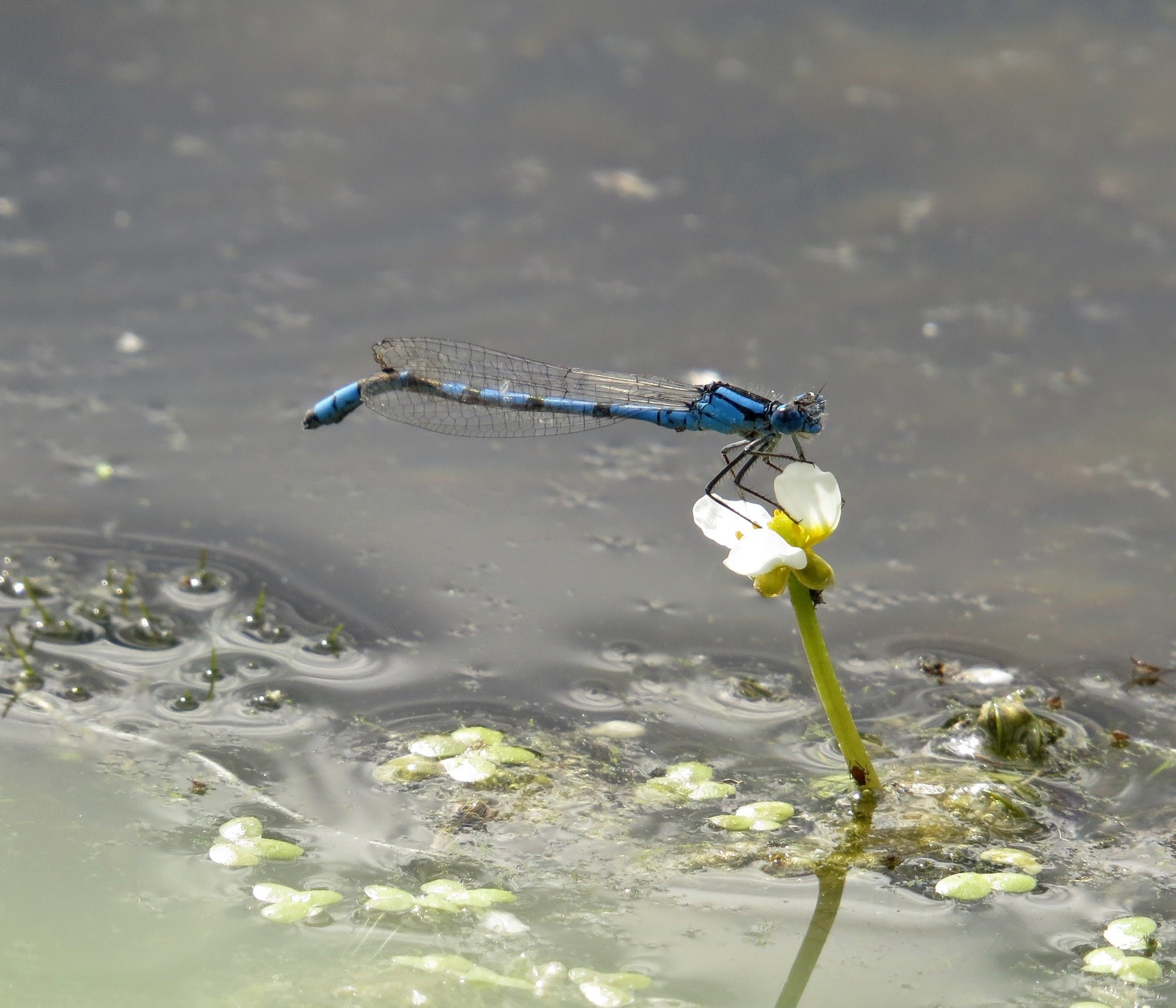 Northern Bluet by Polly Neldner