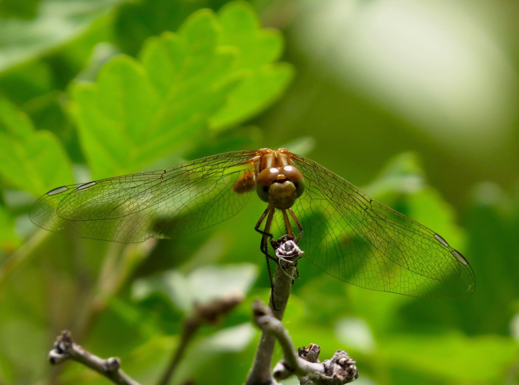 Striped Meadowhawk by Polly Neldner